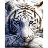 MINI POSTER (40cm x 50cm) - WHITE TIGER - Poster