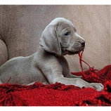 MINI POSTER (50cm x 40cm) - PUPPY : RED BLANKET - Poster